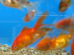 wonderful fuzzy focused fish (noxcatt) Tags: fish blue aquarium water pet pets goldfish orange gravel animal