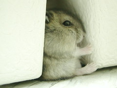 """When """"hamburger"""" was young... (EricFlickr) Tags: pet animal eric taiwan hamster creatop owlkid ericflickr owltroop"""
