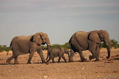 Elephants, Western Etosha (Artbandito) Tags: namibia wildlife africa etosha elephants animal baby desert