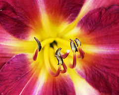 a star inside the daylily (Brenda Anderson) Tags: flower macro yellow star magenta daylily hemerocallis ckpb curiouskiwi ccmpclosencounter brendaanderson inagroup curiouskiwi:posted=2005