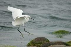 小白鷺 Little Egret Landing - by Changhua Coast Conservation Action