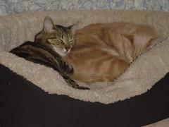 Milo and Simone in the 2 cat bed (Malingering) Tags: cats pets cute animals snuggle kitten feline simone sleep milo kittens catnap cuteness