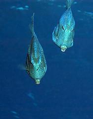 mtrnkfish7925pw (gerb) Tags: blue beautiful topv111 ilovenature cool topv333 underwater scuba d100 cozumel tvp coz105 honeycombcowfish