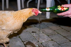 Chicken Drinking Beer (Mark Klotz) Tags: party canada chicken beer drunk vancouver crazy amazing interesting funny drinking alcohol poultry stupid burnaby incredible foodanddrink markklotz featheryfriday chickendrinkingbeer beerdrinkingchicken drunkchicken lmaoanimalphotoaward chickenandbeer drinkingchicken chickendrinksbeer