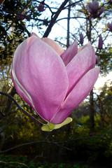 UFO (Annie is back) Tags: pink flower tag3 tag2 tag1 houston floating magnolia tuliptree japanesemagnolia mercerarboretum