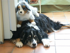 Top Dog No Longer (baseballart) Tags: dog stuffedtoy dogs kitchen animals topv111 toy toys annie aussie australianshepherd piggyback 1on1 kitchenfloor kitcher top20dogpx top20cutepix impressedbeauty
