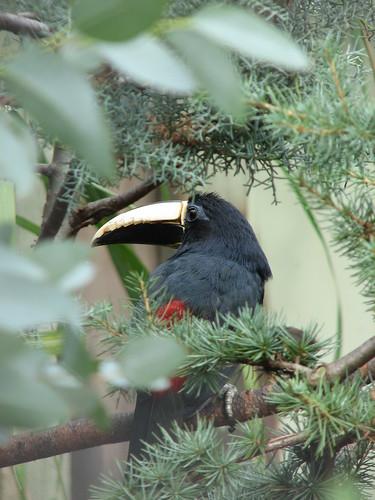 Malayan Black Hornbill