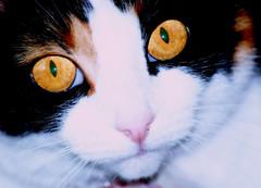 CATH GRIFF (brynmeillion - JAN) Tags: cat eyes cath magiceye griff themoulinrouge llygaid blueribbonwinner 10faves 25faves nikond80 bestofcats anawesomeshot impressedbeauty 20favecats diamondclassphotographer flickrdiamond brillianteyejewel everydayissunday theperfectphotographer
