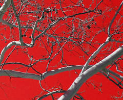 Red Sky (Menazort) Tags: red sky white tree art nature photography spring flickr artist image photos pics arts it things photograph artists emergence what limbs subgenius challengeyouwinner menazort