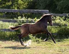 foal_romps (myhorse) Tags: horse action stormy colt canter backlighting gallop foal