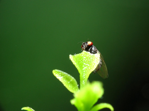 Leafbound Fly