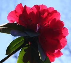 Against the sky (kirstk) Tags: red flower garden botanical rhododendron botanicalgarden vandusen vandusenbotanicalgarden flowerscolors colorphotoaward impressedbeauty impressedbyyourbeauty superbmasterpiece vdbg