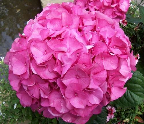 Rosy pink hydrangea