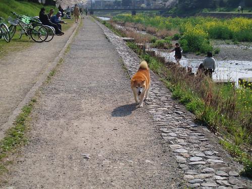 鴨川桜20070409 013