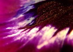 Purple reaching out... (michaelab311) Tags: flower macro topf25 catchycolors colours purple searchthebest pansy lila petal makro violett stiefmtterchen iloveit supershot magicdonkey outstandingshots abigfave colorphotoaward ultimateshot flickrjob superbmasterpiece wowiekazowie diamondclassphotographer flickrdiamond
