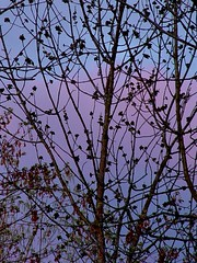 DSC02754adj Lacy Pastel Sky (ftoomschb) Tags: blue sky cloud tree nature twilight purple dusk branches limb supershot colorphotoaward