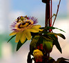 Passion flower (Ramon2002) Tags: flower passionflower naturesfinest ramon2002