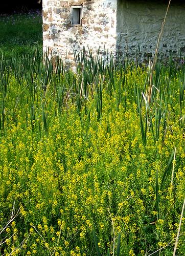 mustard springhouse