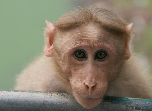 Monkey madness IV