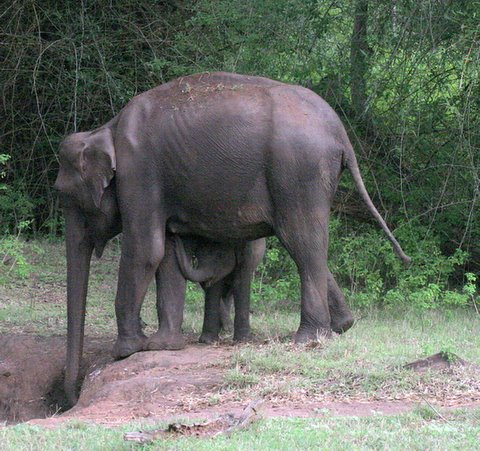 Elephant Mother and Calf Suckling