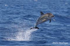 Delphinus Delphis (PedroMadruga) Tags: ocean wild do wildlife pico sul azores aores mansa tonina commondolphin naturesfinest toninha anawesomeshot pedromadruga southofpico golfinhocomum