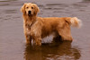 Lincoln in his favourite place (Russ Beinder) Tags: dog chien water topv111 swim goldenretriever puppy topv333 topc50 canine topv777 pup portcoquitlam k9 gvrd blueribbonwinner coquitlamriver colonyfarmregionalpark 2006070900077