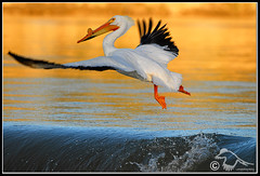 Elegant Take-Off (pelican_DSD4495.jpg) (Larsthrows) Tags: birds wings wildlife flight avian waterbirds americanwhitepelican pelecanuserythrorhynchos featheryfriday specanimal animalkingdomelite abigfave aplusphoto larssteinke avianexcellence bflfgreatesthits larsphotography larsphotographycom lawrencesteinke