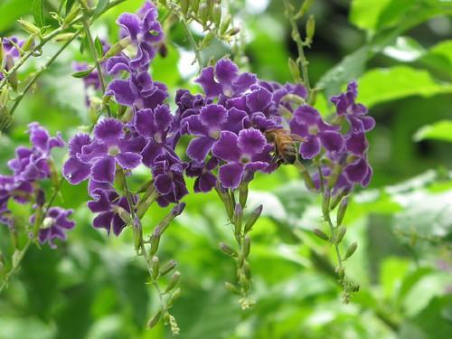 連翹花和蜂