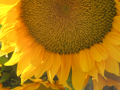 Sunflower in Copley Square
