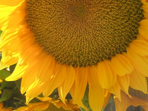 Sunflower in Copley Square