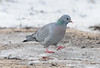 Stock Dove (Stock Pigeon), Columba oenas, at RSPB Old Moor, Barnsley (Steve Greaves) Tags: winter snow bird ice nature frozen pigeon dove wildlife ground aves naturalhistory icy avian brampton barnsley southyorkshire rspb wombwell stockdove freezingcold columbaoenas stockpigeon oldmoor dearnevalley nikond300 nikonafsii400mmf28ifedlens