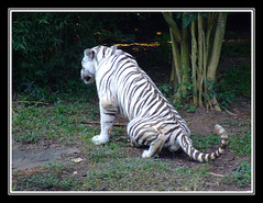 Tigres #4 (Anderson Sutherland) Tags: amigos nature beautiful brasil zoo jj day saopaulo sãopaulo natureza sp janine milena zoosp meyre sÃopaulo tuvy paulopaiva isabelavistue amizades andersonsutherland renataserelepe naturefinest andersonsutherlandii amateurshighfive