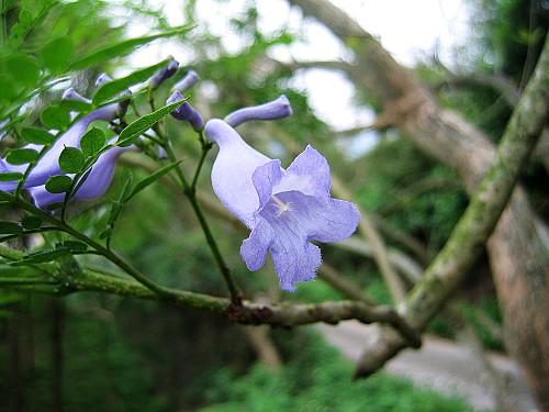 2007_0414藍花楹