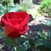 Roses in the Garden - April 15, 2007