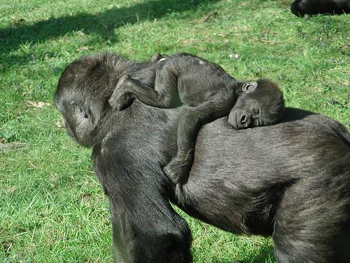 フリー画像| 動物写真| 哺乳類| 猿/サル| ゴリラ| 親子/家族| 寝顔/寝相/寝姿|     フリー素材|