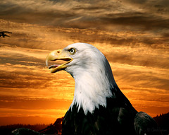 Eagle in sunset (zpaperboyz) Tags: art composite photoshop photography photo image eagle canon20d picture pic photograph tamronlens anawesomeshot chadgraham flickrdiamond