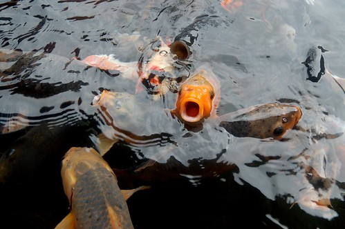 Indonesia: Koi Fever