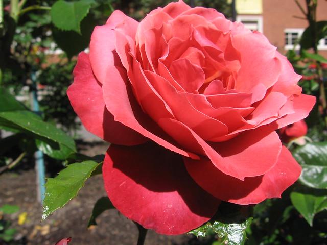 spb_rose_1