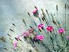 Little Carnation (olvwu | 莫方) Tags: pink usa flower macro canon ga georgia 100mm pinkflower savannah carnation jungpangwu oliverwu oliverjpwu canonef100mmmacrof28usmlens olvwu jungpang 莫方 吳榮邦