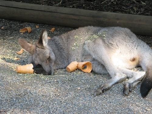 Sleeping Gray Kangaroo