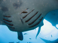 Manta ray getting cleaned in Goofnuw channel