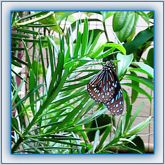 Dark Blue Tiger (Tirumala septentrionis) resting on Podocarpus. My very first butterfly pic!