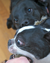 8x10 (3).jpg (blogjam_dot_org) Tags: dog dogs bostonterrier texas houston blacklab montrose anoushka speedlight tugofwar strobe 544 sunpak sb25 pocketwizard misterpeabody 77098