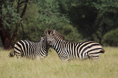 Bushveld stripes