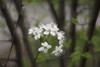 pear blossom too (latentsifier) Tags: top20bokeh
