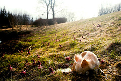 Sniffing out the season (Rn) Tags: dog chihuahua dogs iceland explore 2007 rn magnsdttir lkas rnmagnsdttir ranmagnusdottir
