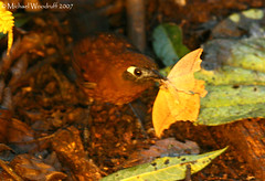 Immaculate Antbird (Michael Woodruff) Tags: bird southamerica birds canon ecuador birding sa 30d immaculate subtropics antbird tandayapa tandayapavalley myrmeciza nwecuador immaculateantbird myrmecizaimmaculata