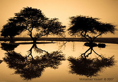 Tree - Reflection (dawey [Mohammad Alhameed]) Tags: sunset reflection tree water canon iso400 canon20d  reflexions mohammad  yousef mohamad canon1022mm  picturecollection vwc      dawey  antiquegragscale kuwaitvoluntaryworkcenter  photovwc kuwaitvwc