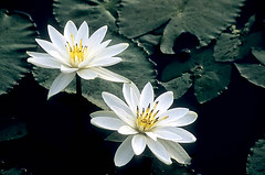 white water lilly (wildlens) Tags: india colour nature yellow horizontal asian nikon asia close natural indian  colourful gujarat jadeja manjeet yograj manjeetyograjjadeja