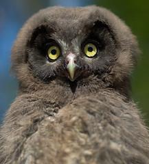 Helmipöllö (mattisj) Tags: bird birds bravo explore owl owls borealowl lintu linnut naturesfinest pöllö aegoliusfunereus tengmalmsowl flickrsbest helmipöllö pöllöt specanimal anawesomeshot